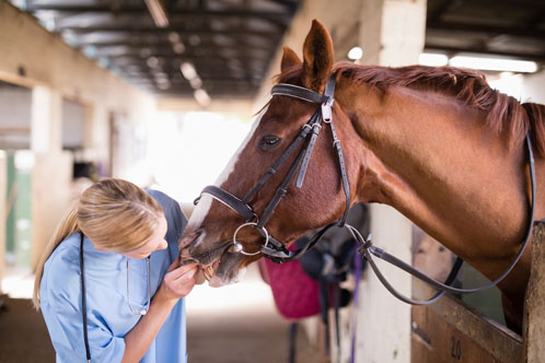 Doctor checking horses teeth